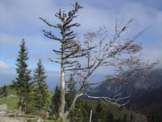 Auch heute noch findet man im Ostallgäu seltsame Bäume.